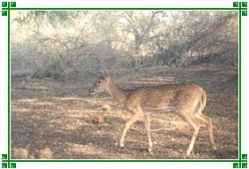 Deer, Bandipur National Park