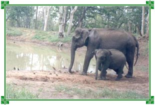 Elephants, Nagarhole National Park